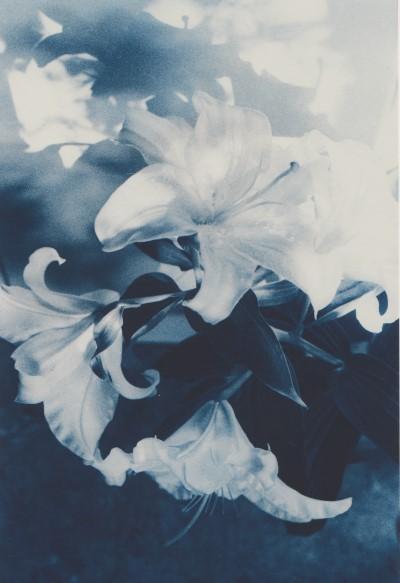 Weiße Lilien, 2013